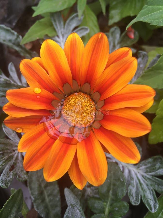 Gotas da chuva nas pétalas alaranjadas da flor