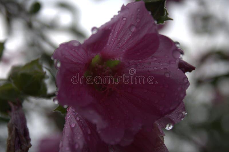 Gotas da chuva nas pétalas cor-de-rosa foto de stock