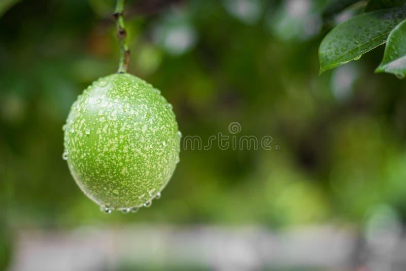 Gotas da chuva no odollam de Cerbera foto de stock royalty free