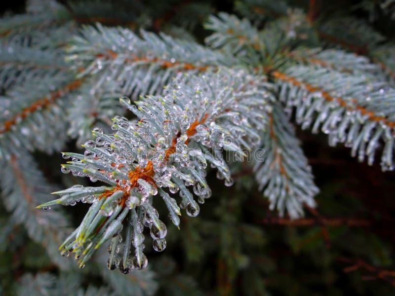 Gotas da chuva no pinho gelado imagem de stock royalty free