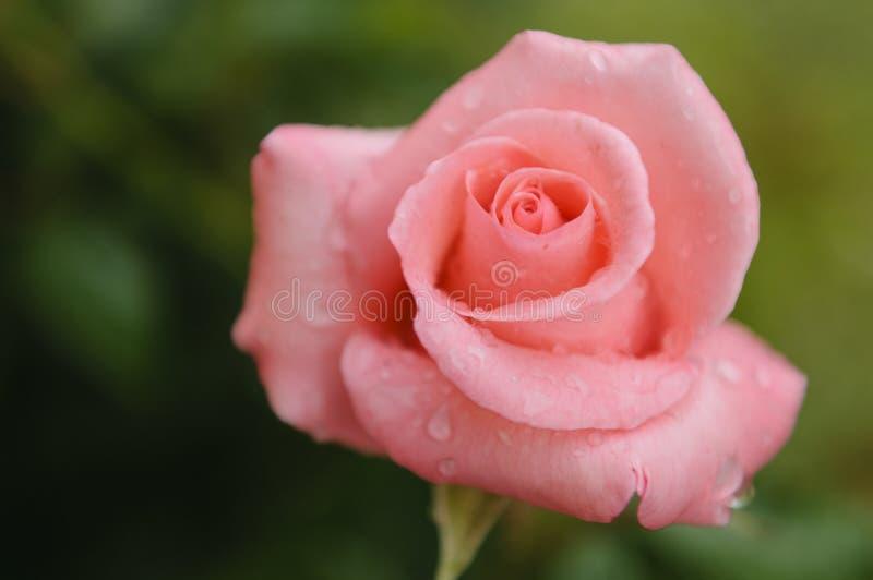 Gotas da rosa e da chuva do rosa foto de stock royalty free