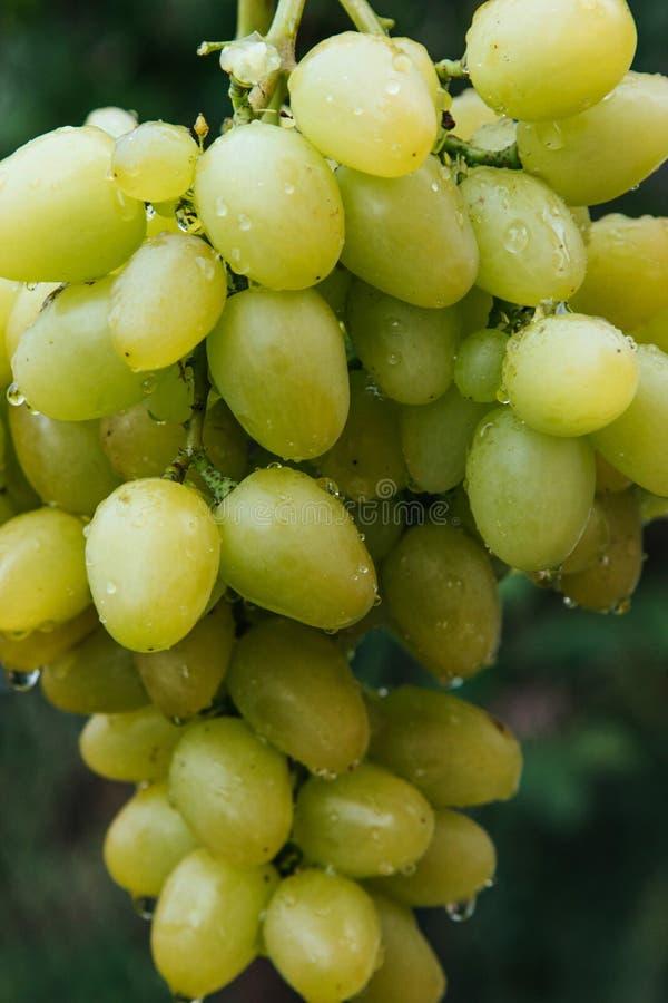 Gotas da uva e da água fotografia de stock royalty free