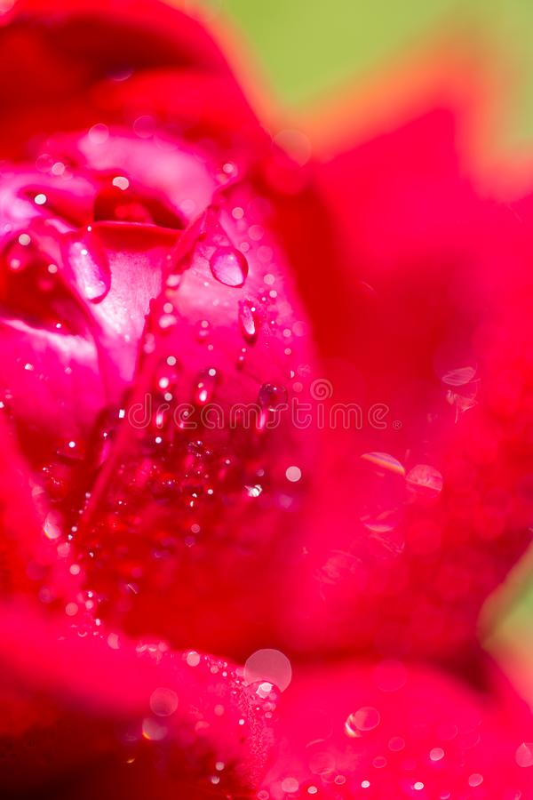 Gotas de água em uma rosa vermelha foto de stock royalty free
