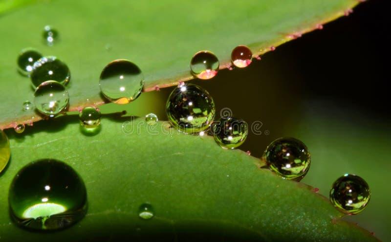 Gotas de água nas folhas de Rosa imagem de stock
