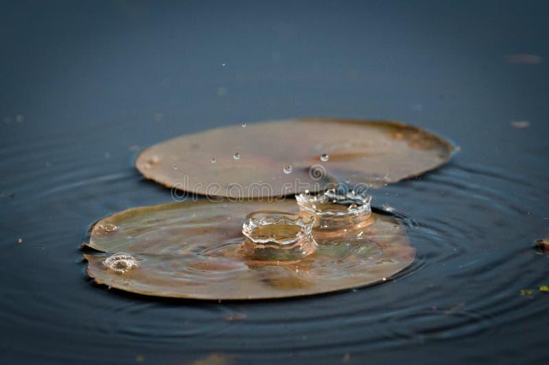 Gotas de água que caem em uma lagoa no por do sol no lírio fotografia de stock