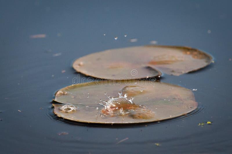 Gotas de água que caem em uma lagoa no por do sol no lírio imagens de stock