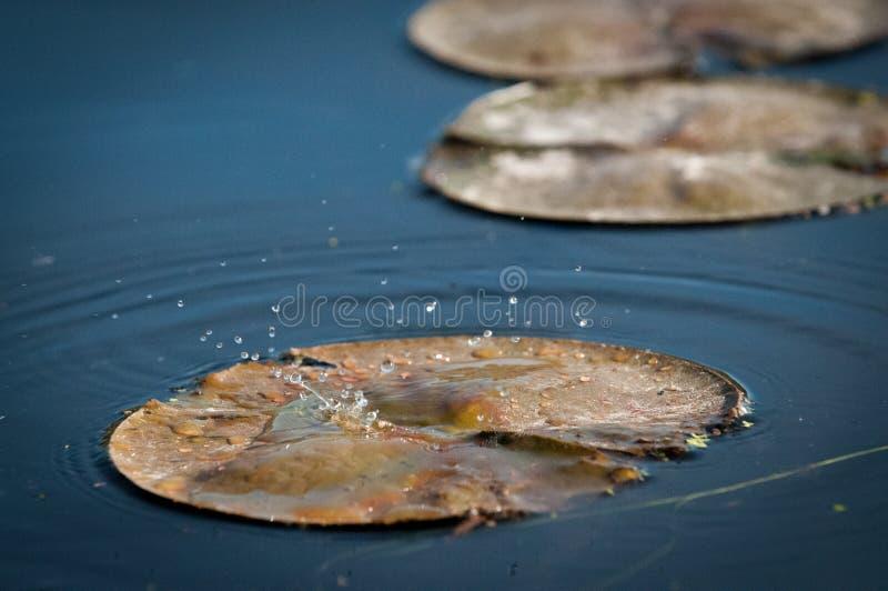 Gotas de água que caem em uma lagoa no por do sol no lírio foto de stock