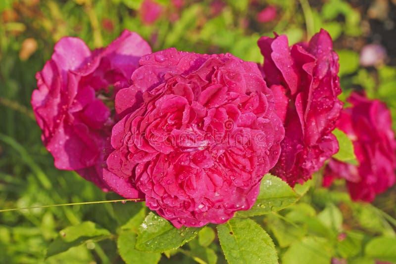 Gotas de agua chispeantes de la rosa del rojo en jardín fotos de archivo