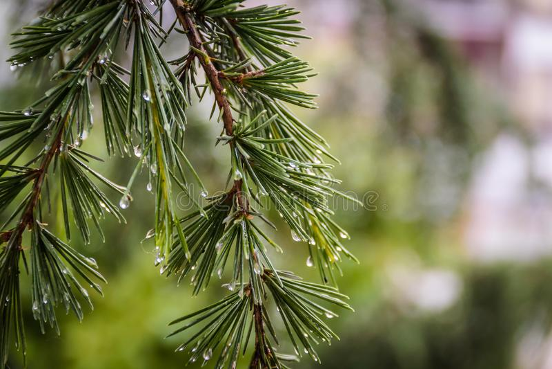 Gotas de agua después de la lluvia en las hojas de un árbol de pino imagenes de archivo