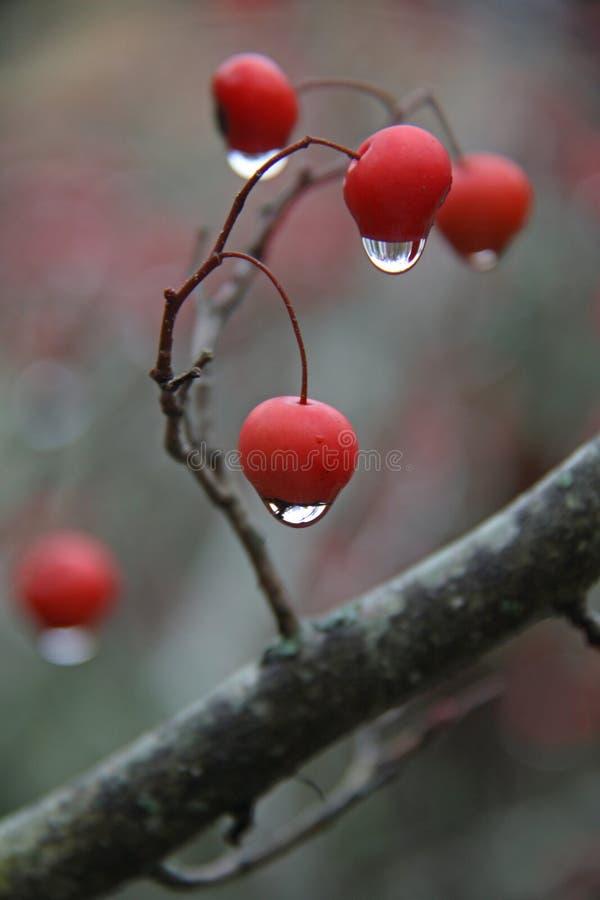 Gotas de agua en bayas fotos de archivo