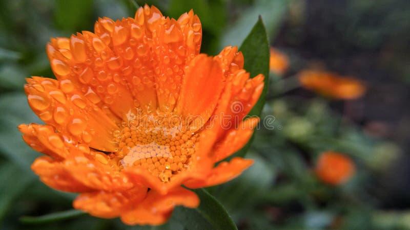 Gotas de agua en el primer de la flor imágenes de archivo libres de regalías