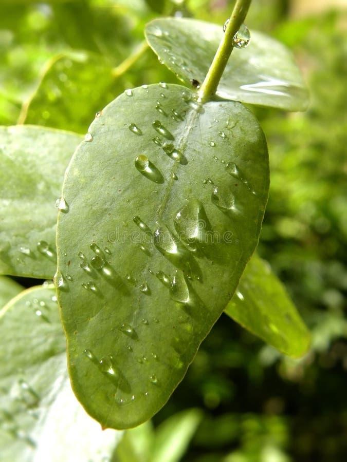Gotas de agua en la hoja del eucalipto fotos de archivo libres de regalías