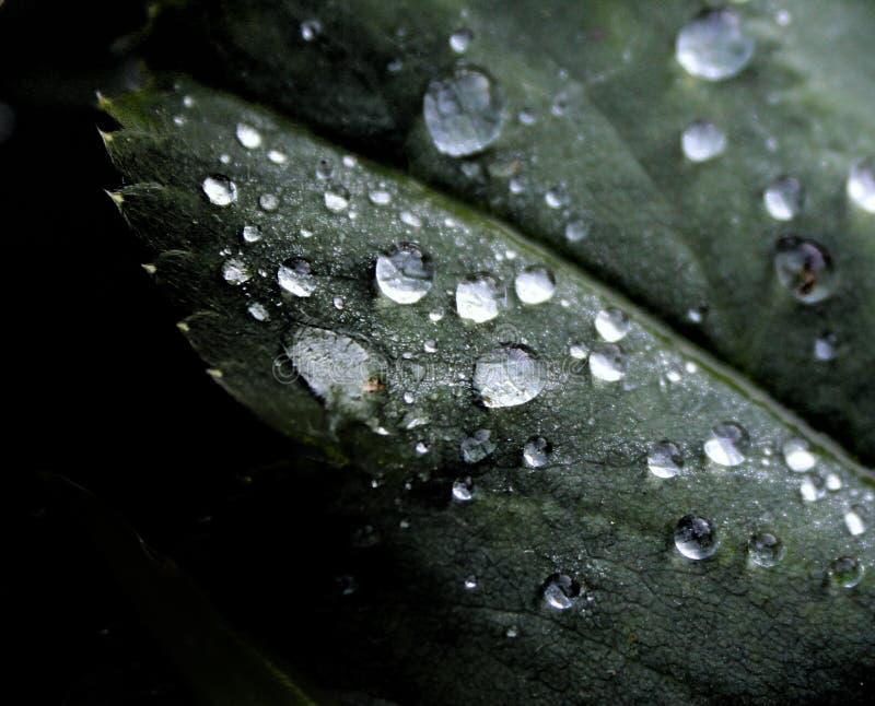 Gotas de agua en la hoja verde en fondo negro foto de archivo libre de regalías