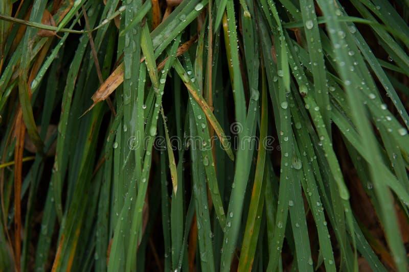 Gotas de agua en las hojas de la hierba imágenes de archivo libres de regalías
