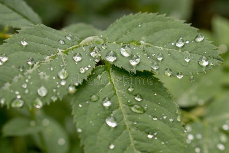 Gotas de agua en las hojas fotos de archivo libres de regalías