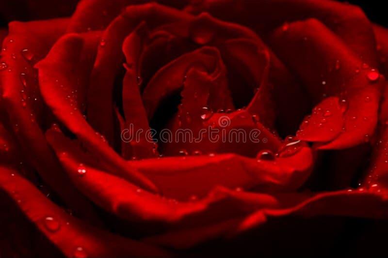 Gotas de agua en Rose roja roja fotos de archivo libres de regalías