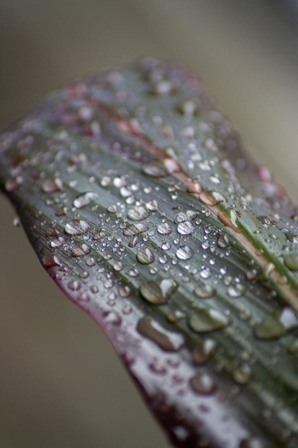 Gotas de agua en una hoja de la planta del Ti fotos de archivo