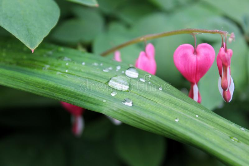 Gotas de agua en una hoja de una planta, flores rosadas en el fondo imagen de archivo