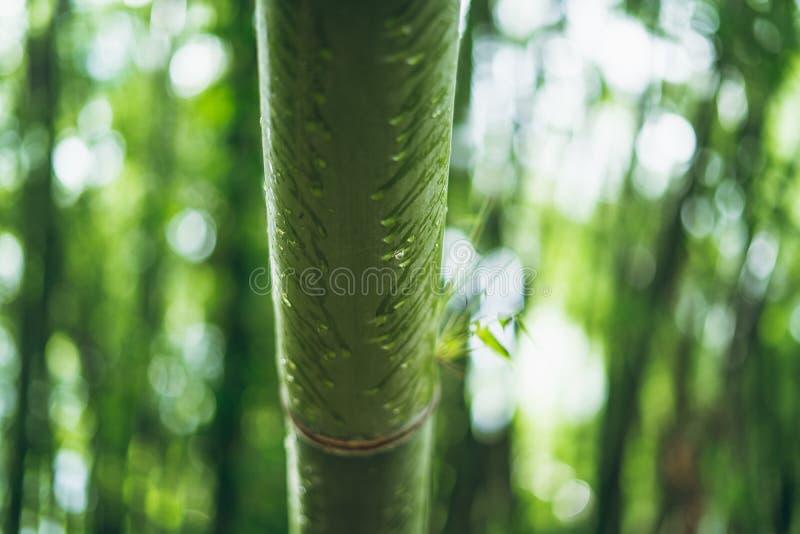Gotas de bambu das folhas e da água da floresta de bambu no fundo do bambu de Bokeh da estação das chuvas imagem de stock