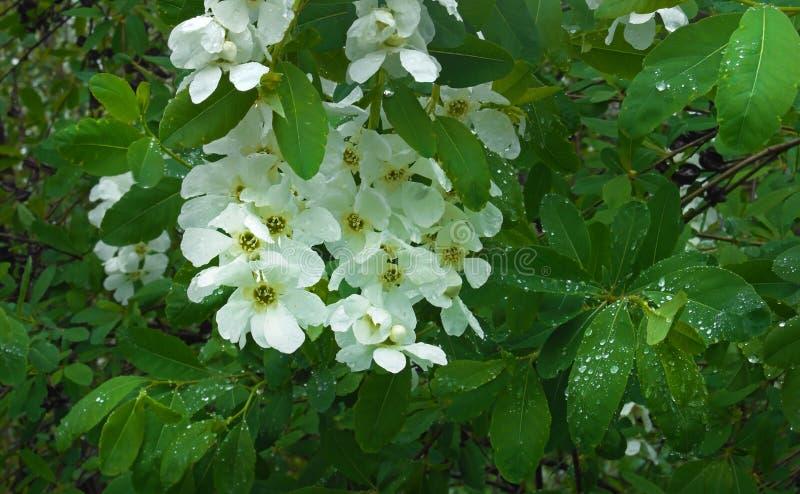 Gotas de florescência do whith do ramo de árvore ilustração do vetor