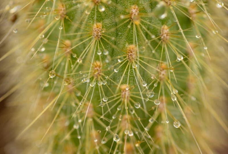Gotas de lluvia en el cactus imagenes de archivo