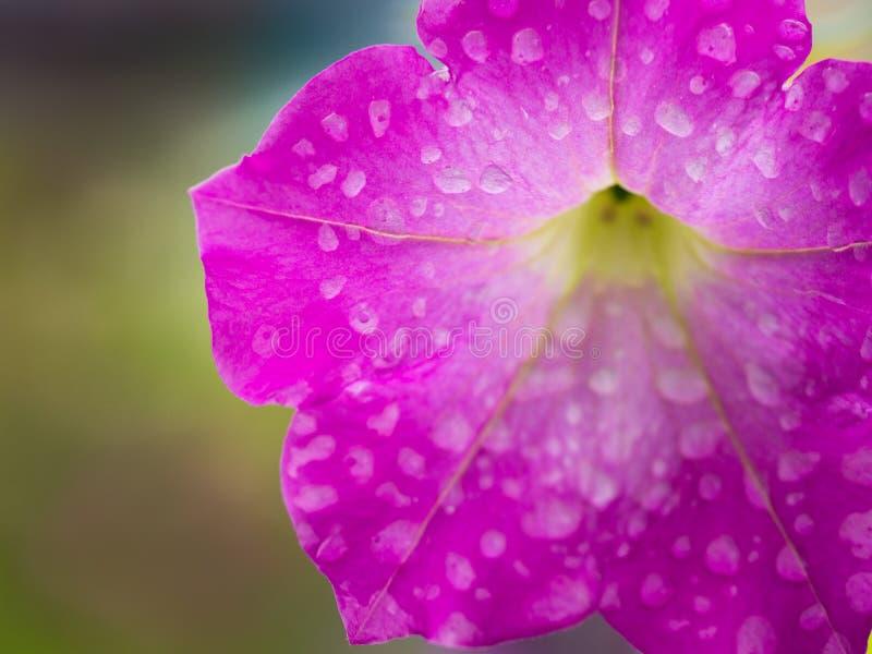 Gotas de lluvia en la ejecución rosada de la flor de la petunia fotos de archivo libres de regalías