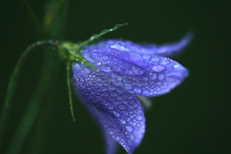 Gotas de lluvia en la flor púrpura foto de archivo libre de regalías