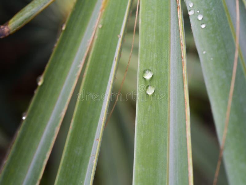 Gotas de lluvia en la hoja de palma de Bismarck foto de archivo