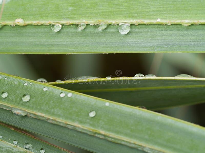 Gotas de lluvia en la hoja de palma de Bismarck fotos de archivo libres de regalías