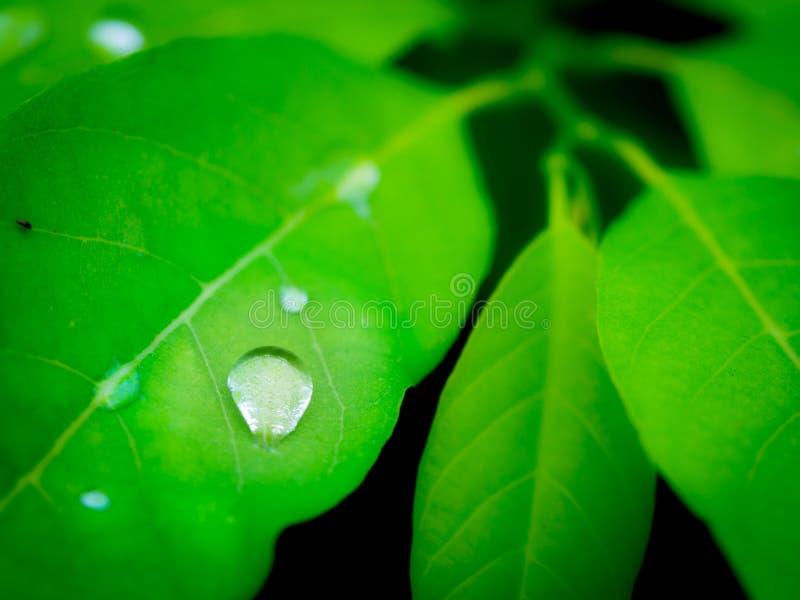 Gotas de lluvia en las hojas de Castard Apple foto de archivo libre de regalías