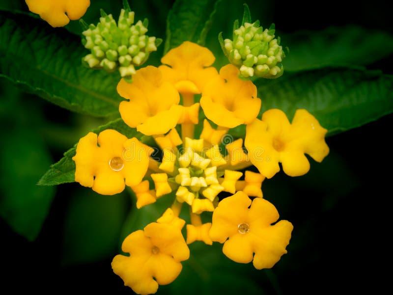 Gotas de lluvia encaramadas en las flores amarillas del seto imagen de archivo