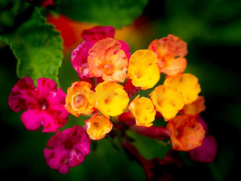 Gotas de lluvia encaramadas en las flores rosadas amarillas del seto fotografía de archivo