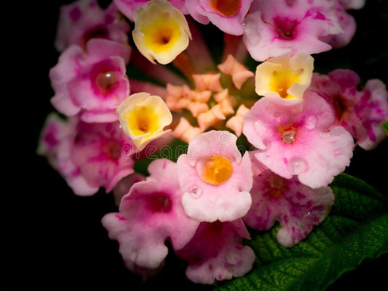 Gotas de lluvia encaramadas en las flores rosadas amarillas del seto foto de archivo
