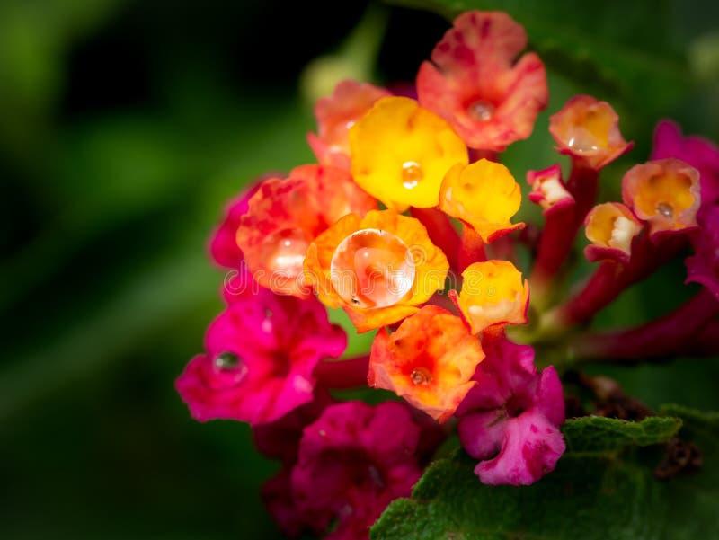 Gotas de lluvia encaramadas en las flores rosadas amarillas del seto imágenes de archivo libres de regalías