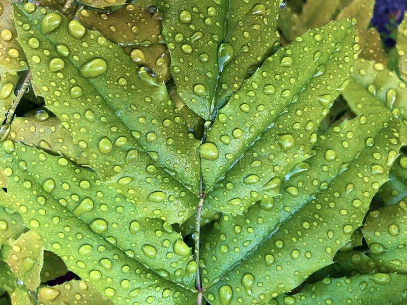 Gotas de lluvia o gotitas del agua en una hoja verde fotografía de archivo libre de regalías