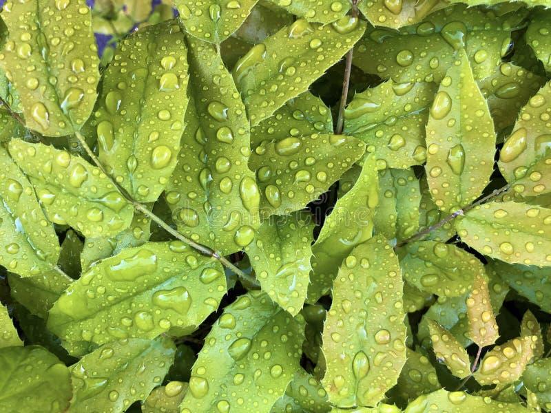 Gotas de lluvia o gotitas del agua en una hoja verde imagenes de archivo