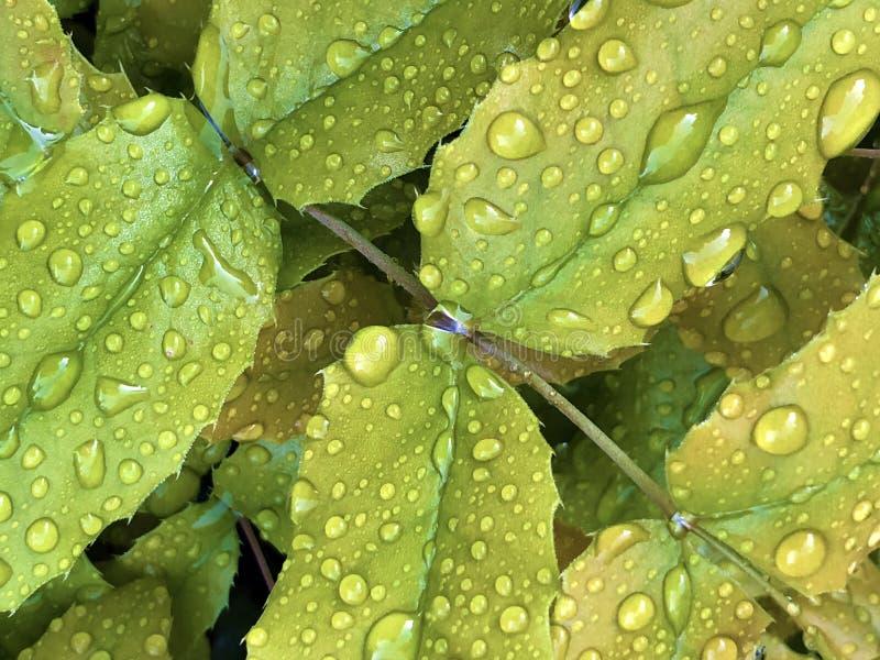 Gotas de lluvia o gotitas del agua en una hoja verde fotos de archivo