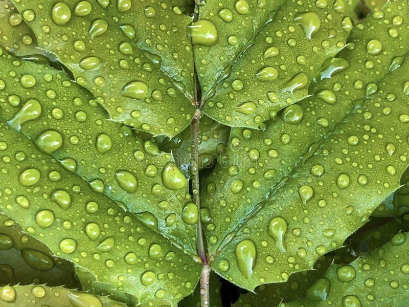 Gotas de lluvia o gotitas del agua en una hoja verde imagen de archivo libre de regalías