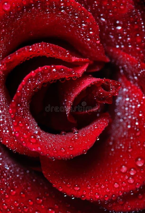 Gotas de orvalho de Rosa imagens de stock