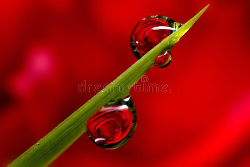 Download Gotas de orvalho de Rosa foto de stock. Imagem de refraction - 16861322