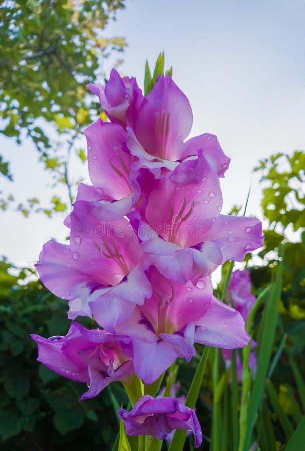 Gotas de orvalho delicadas nas pétalas cor-de-rosa roxas de Priscilla do tipo de flor Flor do lírio de espada que floresce no jar fotos de stock