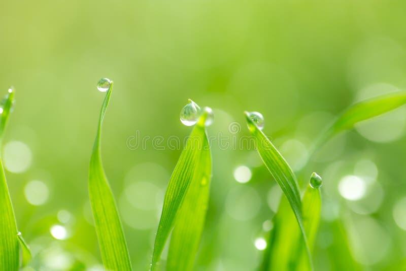 Gotas de orvalho na grama verde Macro fotografia de stock royalty free