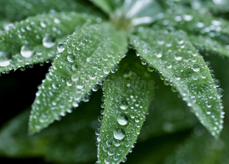 Gotas de orvalho redondas nas folhas da planta verde foto de stock