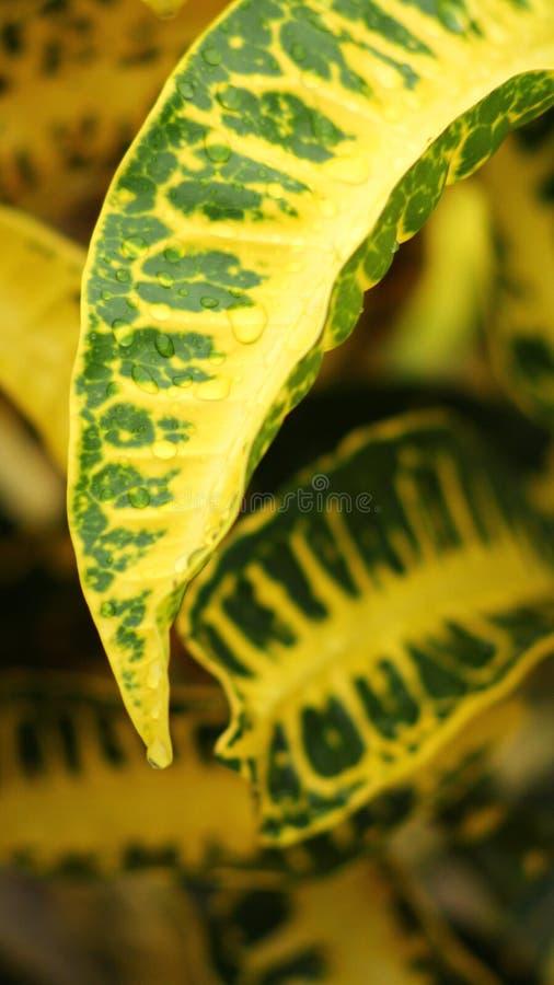 Gotas de refrescamento do orvalho em um amarelo e em uma folha verde fotografia de stock