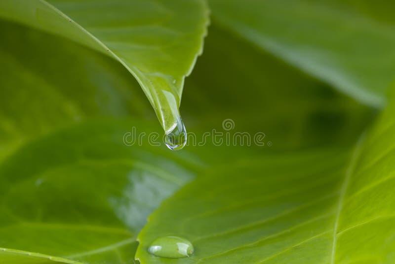 Gotas del agua de la hoja fotografía de archivo libre de regalías