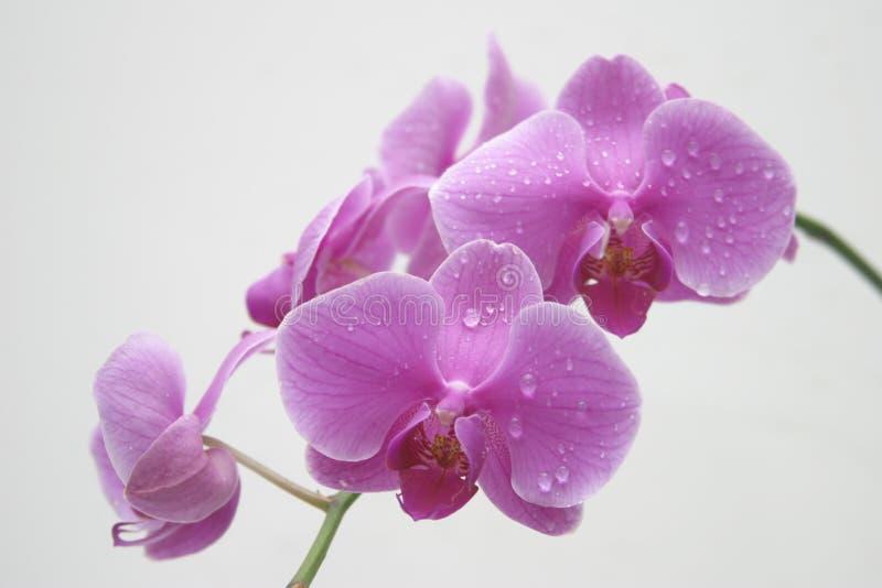 Gotas del agua de la orquídea fotos de archivo libres de regalías