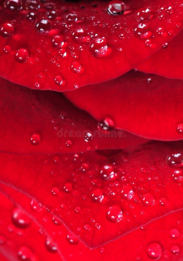 Gotas del agua en el pétalo color de rosa rojo foto de archivo libre de regalías