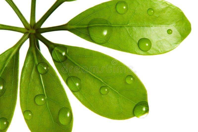 Gotas del agua en la hoja verde fresca foto de archivo libre de regalías