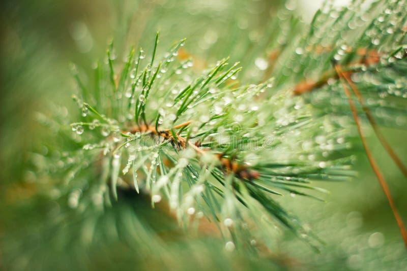 Gotas do orvalho em ramos Spruce fotografia de stock