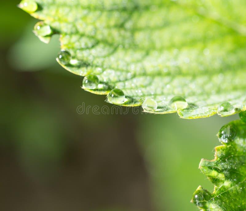 Gotas do orvalho em uma folha verde fotografia de stock